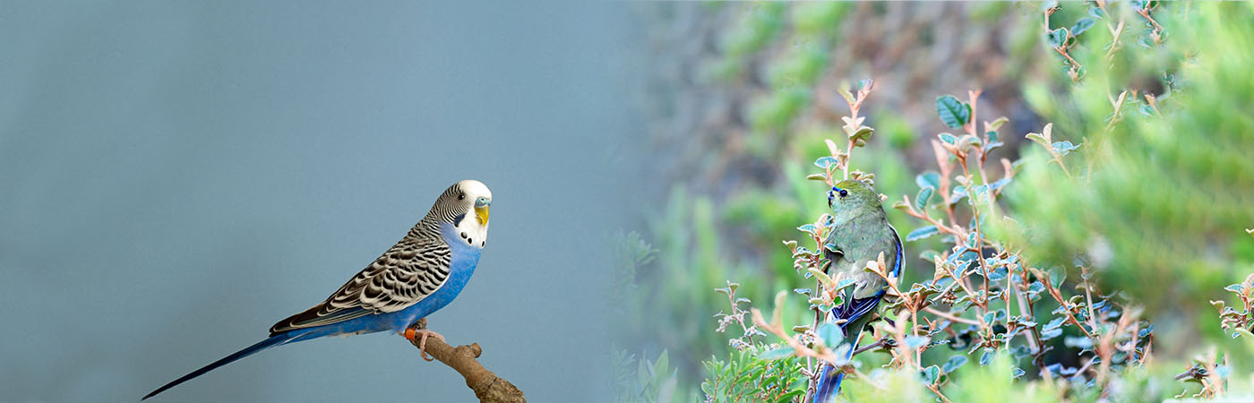Deli Nature - Kanaries, Tropische vogels, Europese vogels, Gras- & kleine parkieten, Grote parkieten, Vruchteneters