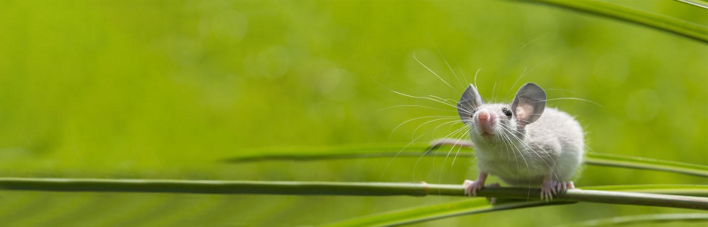 Deli Nature - Hamster, Kleine knager, Rat